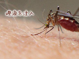 人間の皮膚に針を刺す蚊