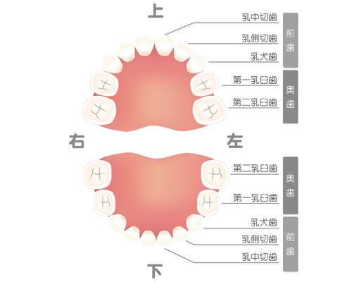 乳歯上下配置