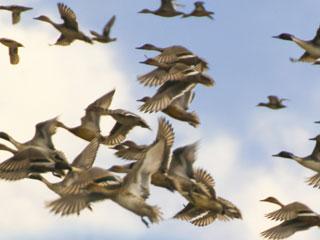 飛ぶ鴨の群れ