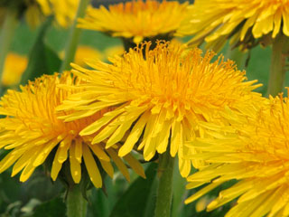 タンポポの花弁