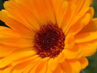 ポットマリーゴールド花弁