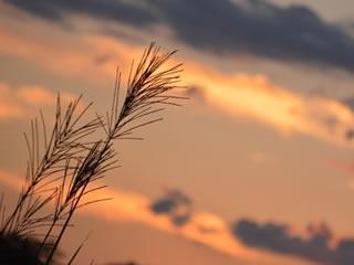 秋の夕暮れ時に風に揺れる草