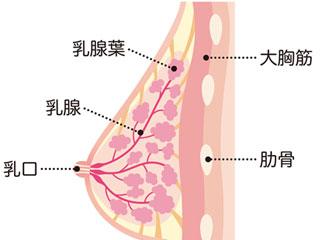 乳房解剖図