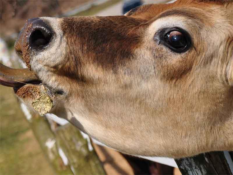 黒目が大きい牛の目