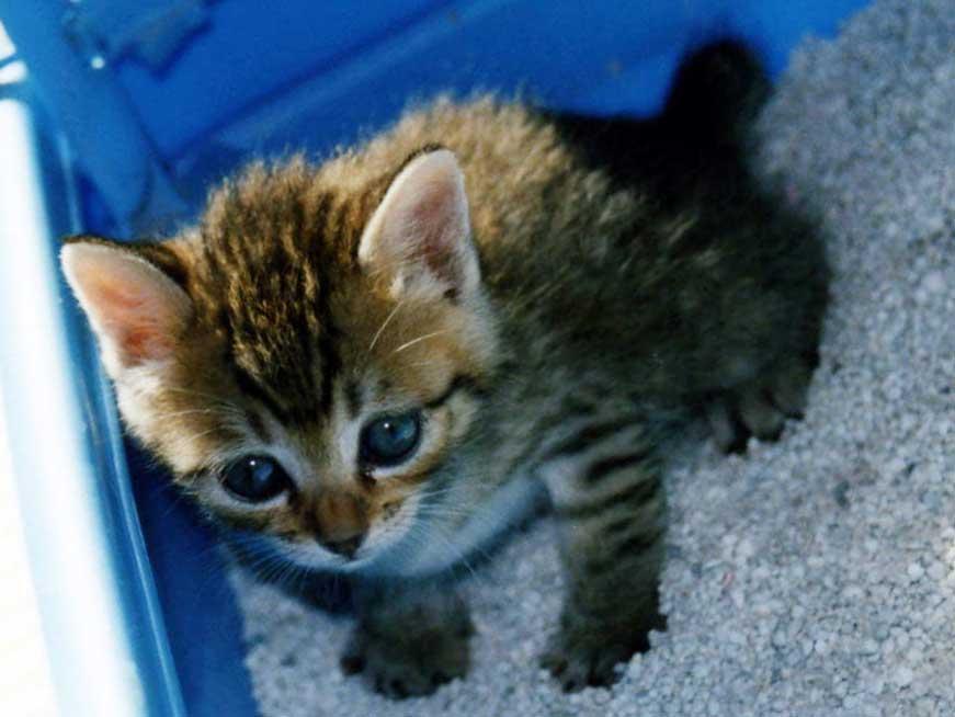 猫用トイレを使ってる子猫