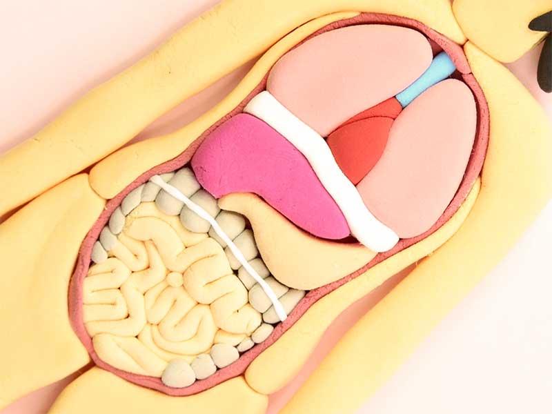 人体模型の腸