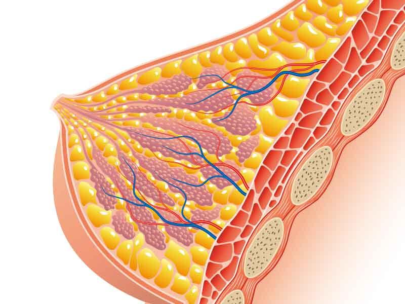 乳房の構造イラスト
