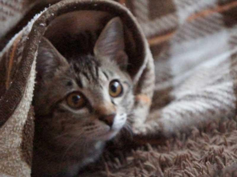 こたつの中の入っている猫ちゃん