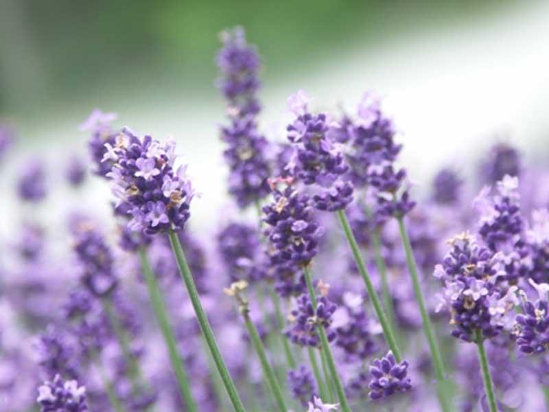 香りのいいラベンダーの花