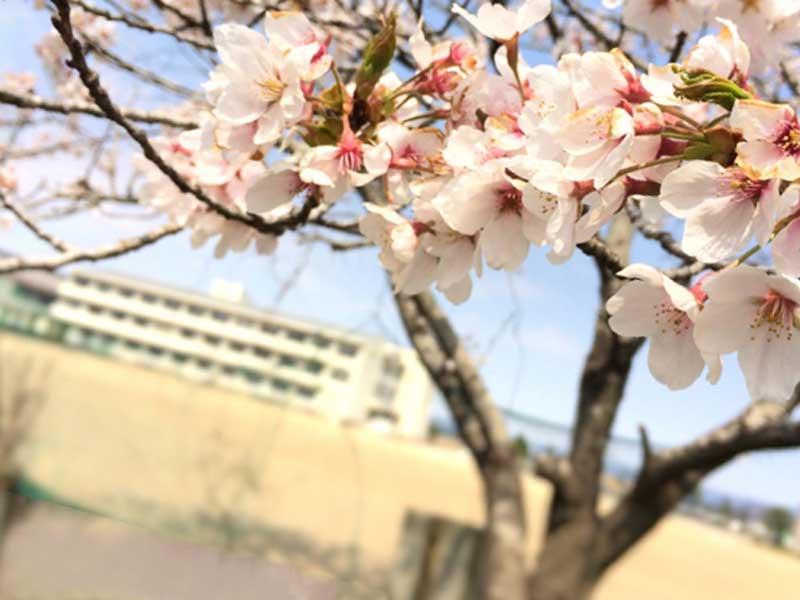 小学校の桜の木