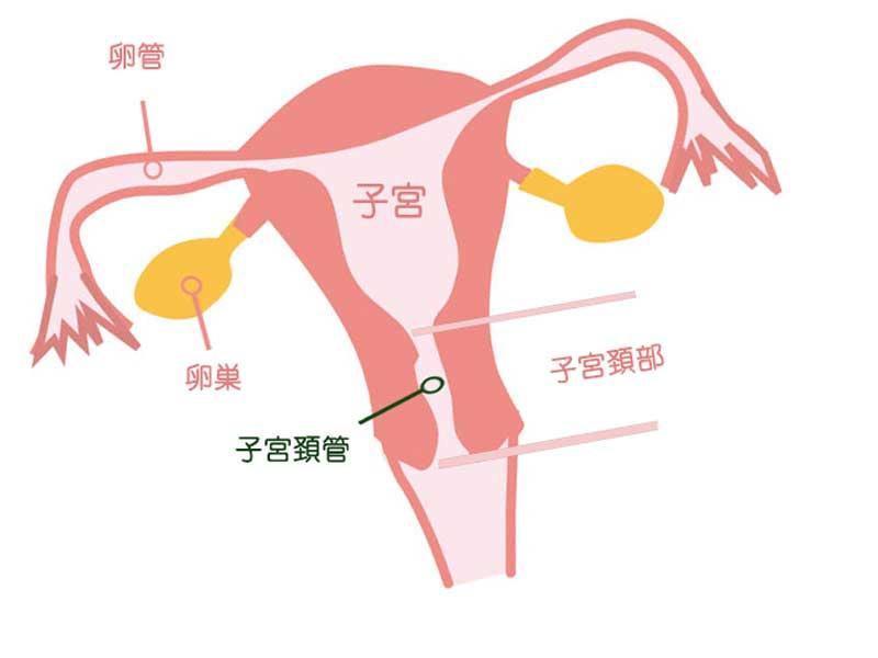 子宮頸管のイラスト