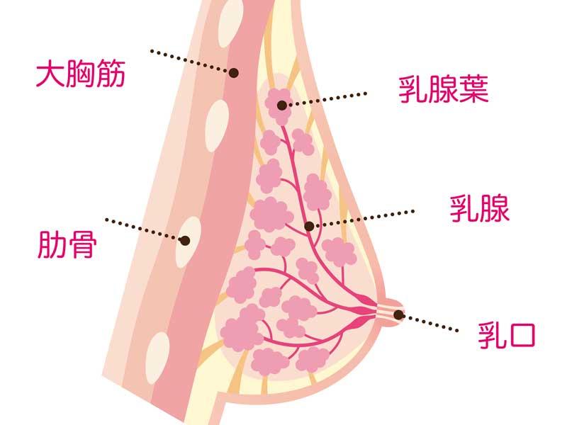 母乳の乳腺葉の説明図