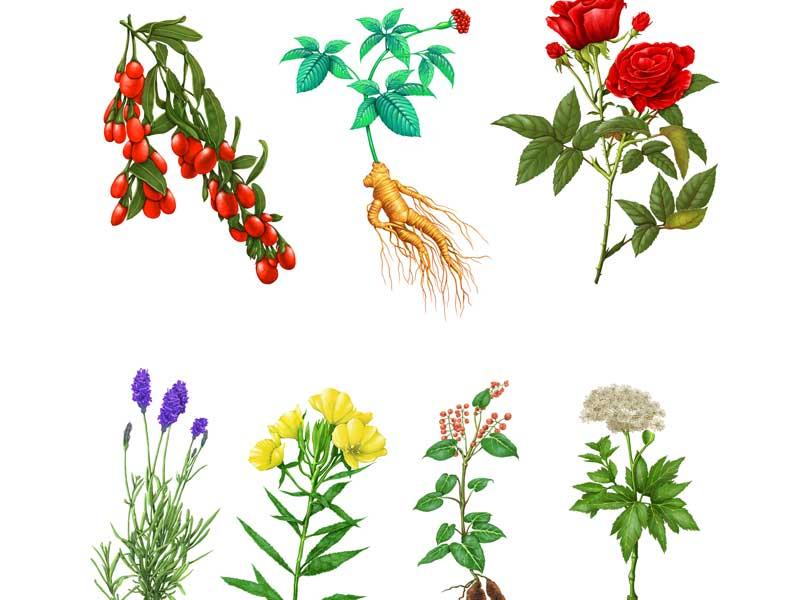 漢方薬用の薬草