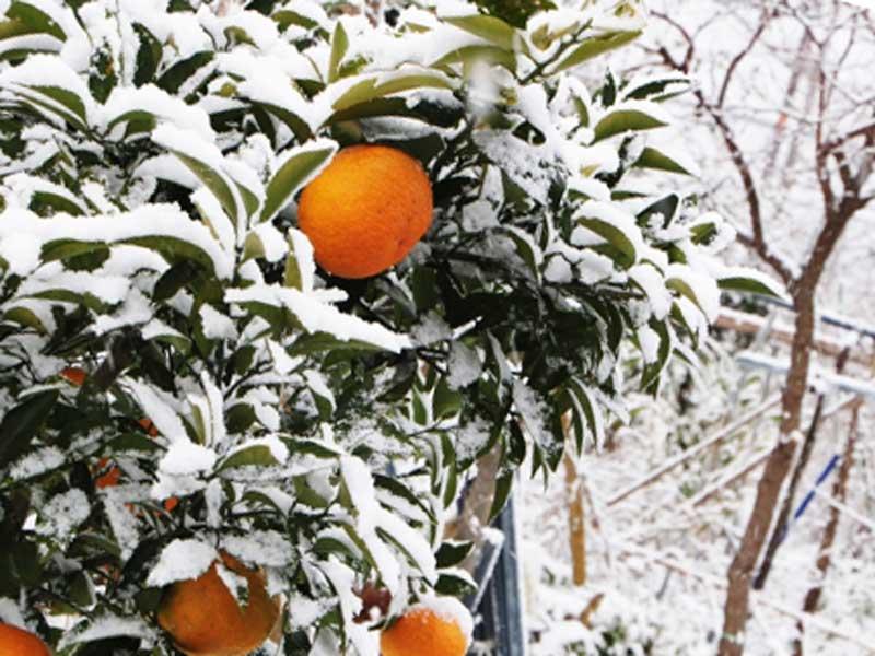 冬場のみかんの木