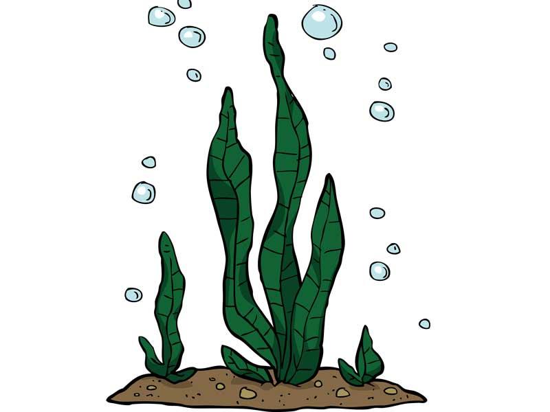 海藻のコンブのイラスト