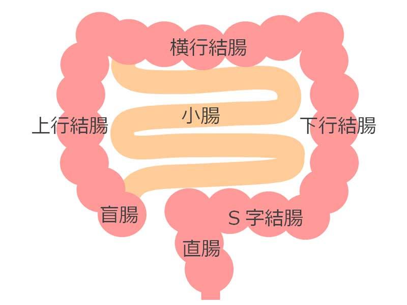 小腸と大腸のイラスト