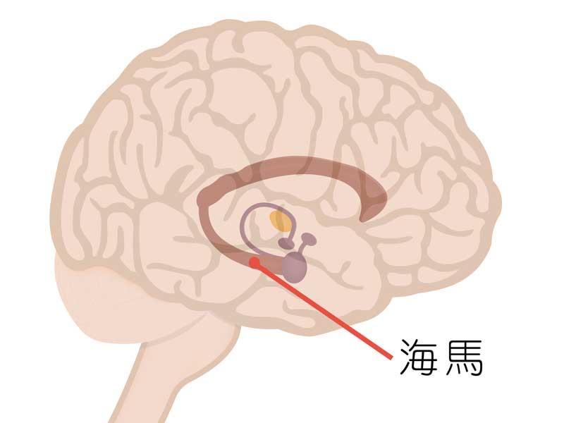 脳内の海馬のイラスト
