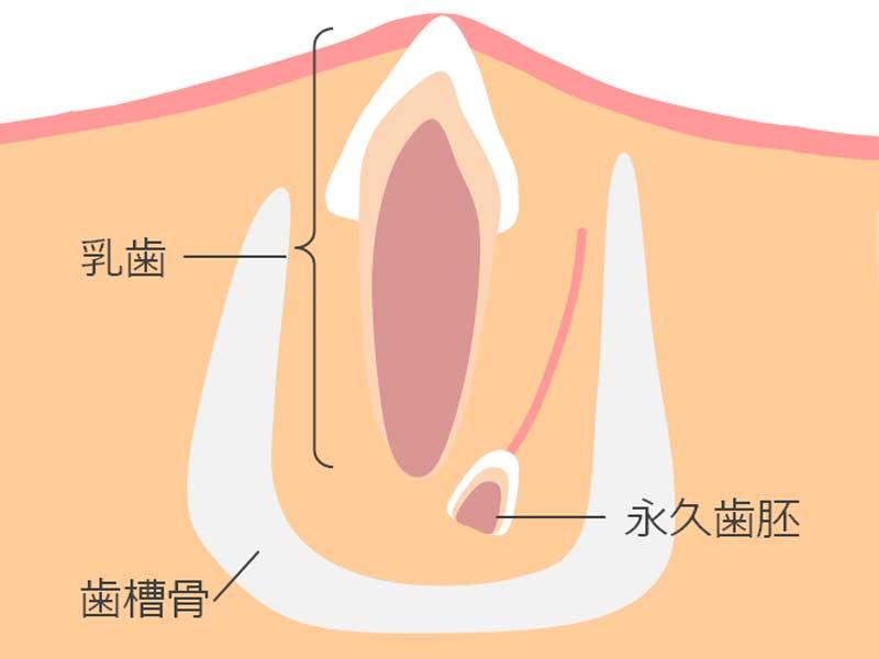 歯胚のイラスト