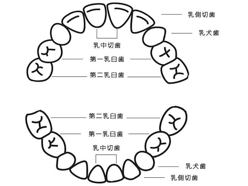 乳歯説明のイラスト