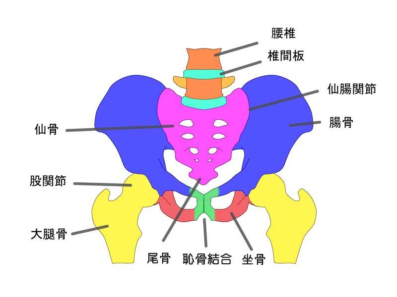 骨盤の構成のイラスト