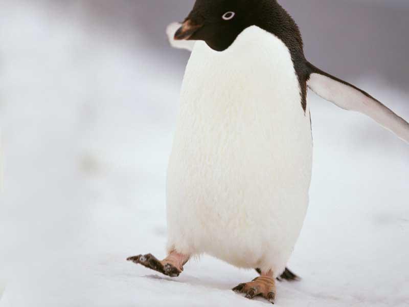 歩いているペンギン