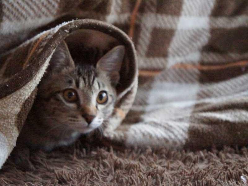 こたつの下にいる猫ちゃん