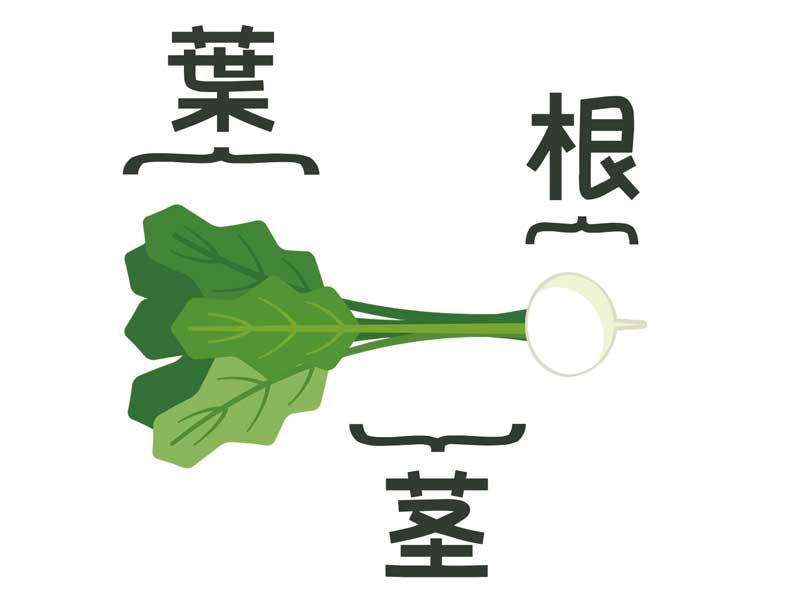 かぶの根葉茎のイラスト