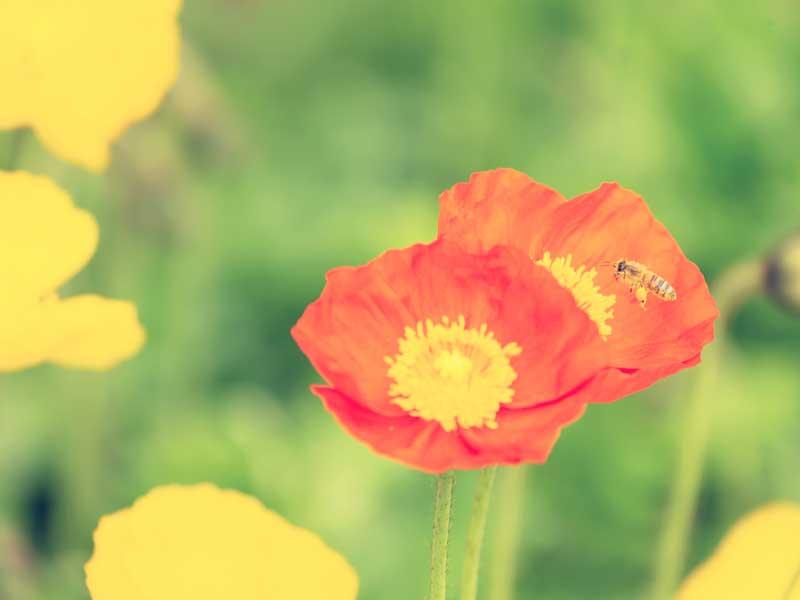 ポピーの花と蜜蜂