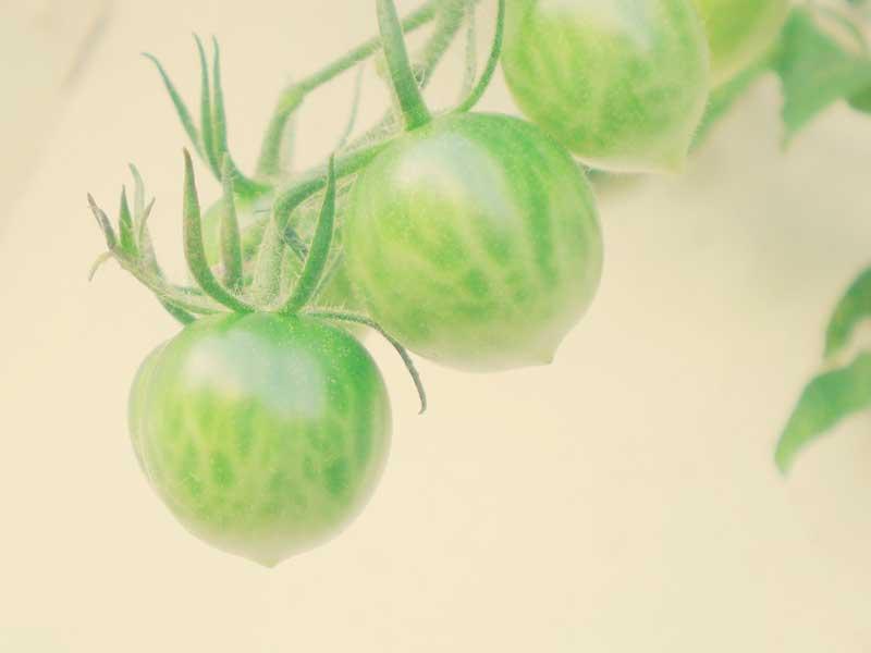 ベランダで育ったミニトマト