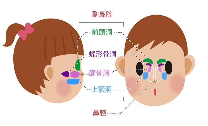 副鼻腔図解イラスト