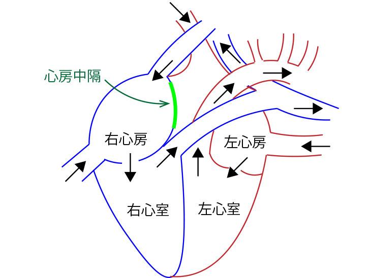 心臓の仕組み図