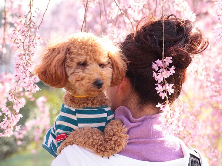 桜の咲く公園で女性に抱っこされたプードル