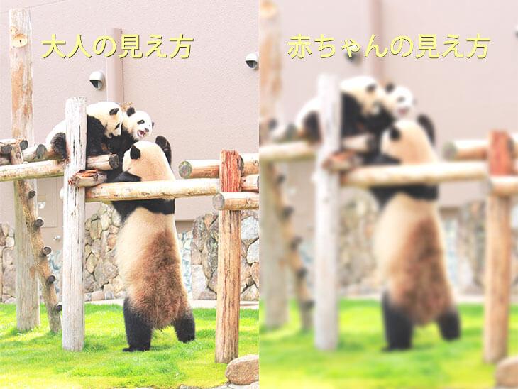 大人と赤ちゃんの見え方を比較するパンダ家族のイメージ