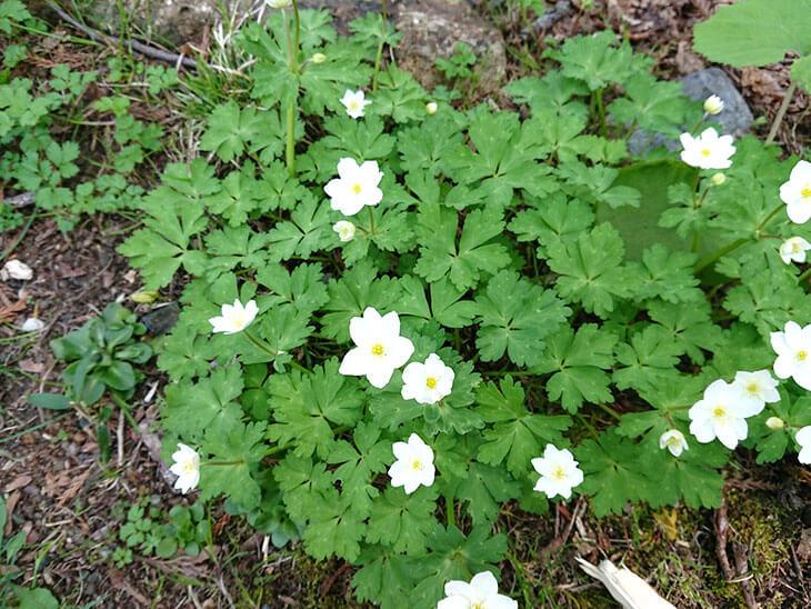 野に咲く二輪草の白い花