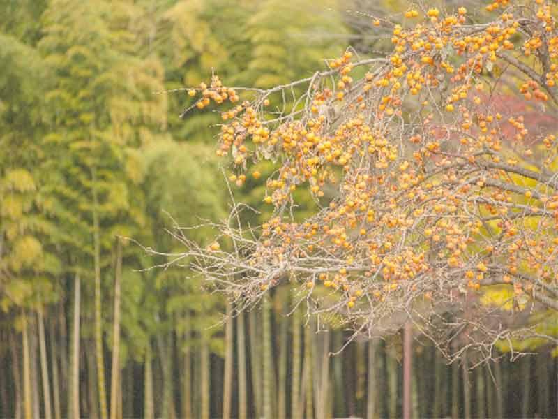 秋の風景(柿の木)
